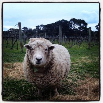 Mama sheep